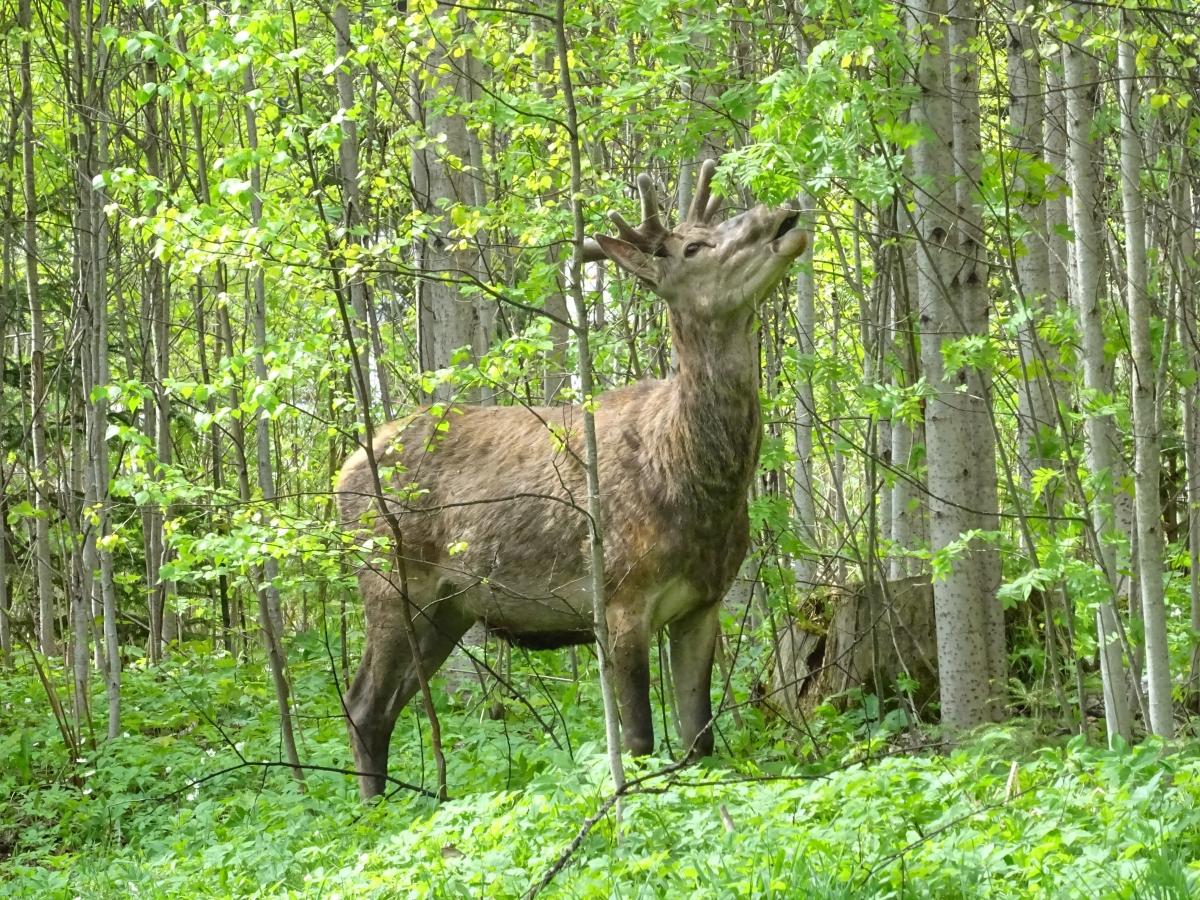 Jeleň v Tatranskej Lomnici