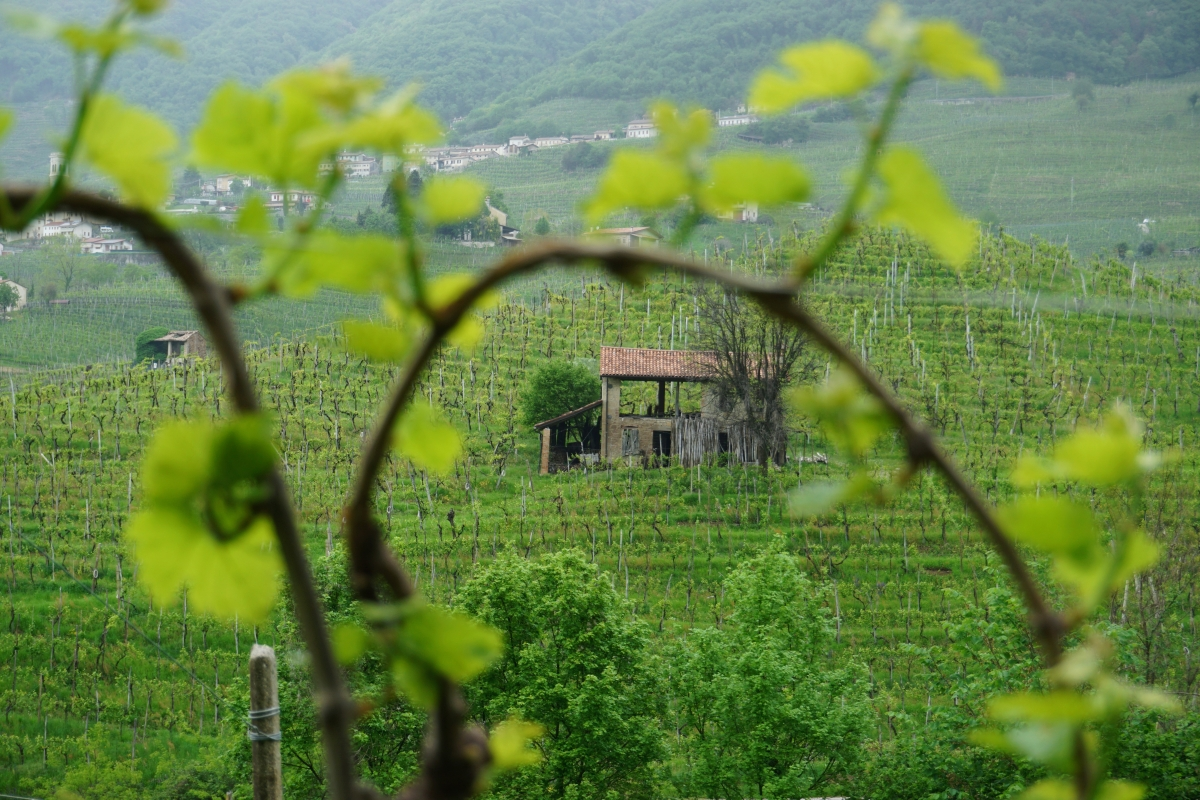vinice vo valdobbiadene na výrobu prosecca