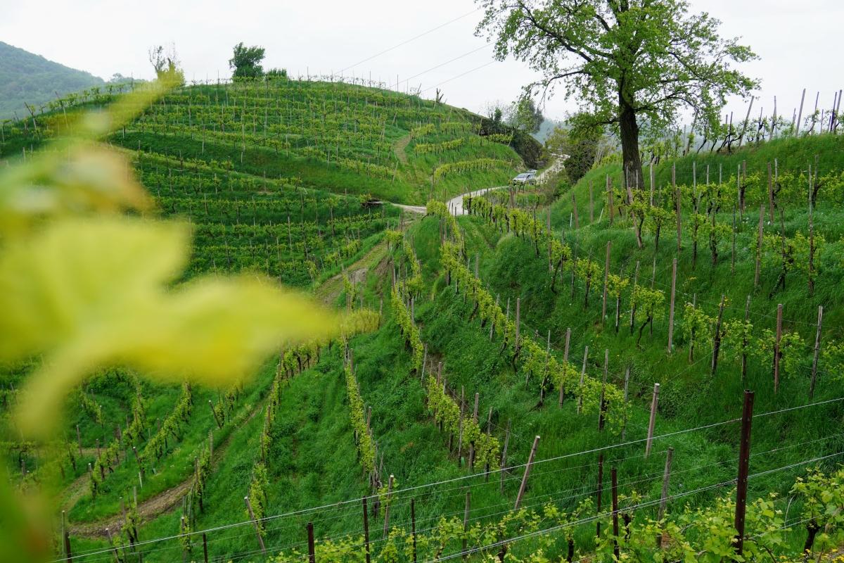 odroda gléra vinice