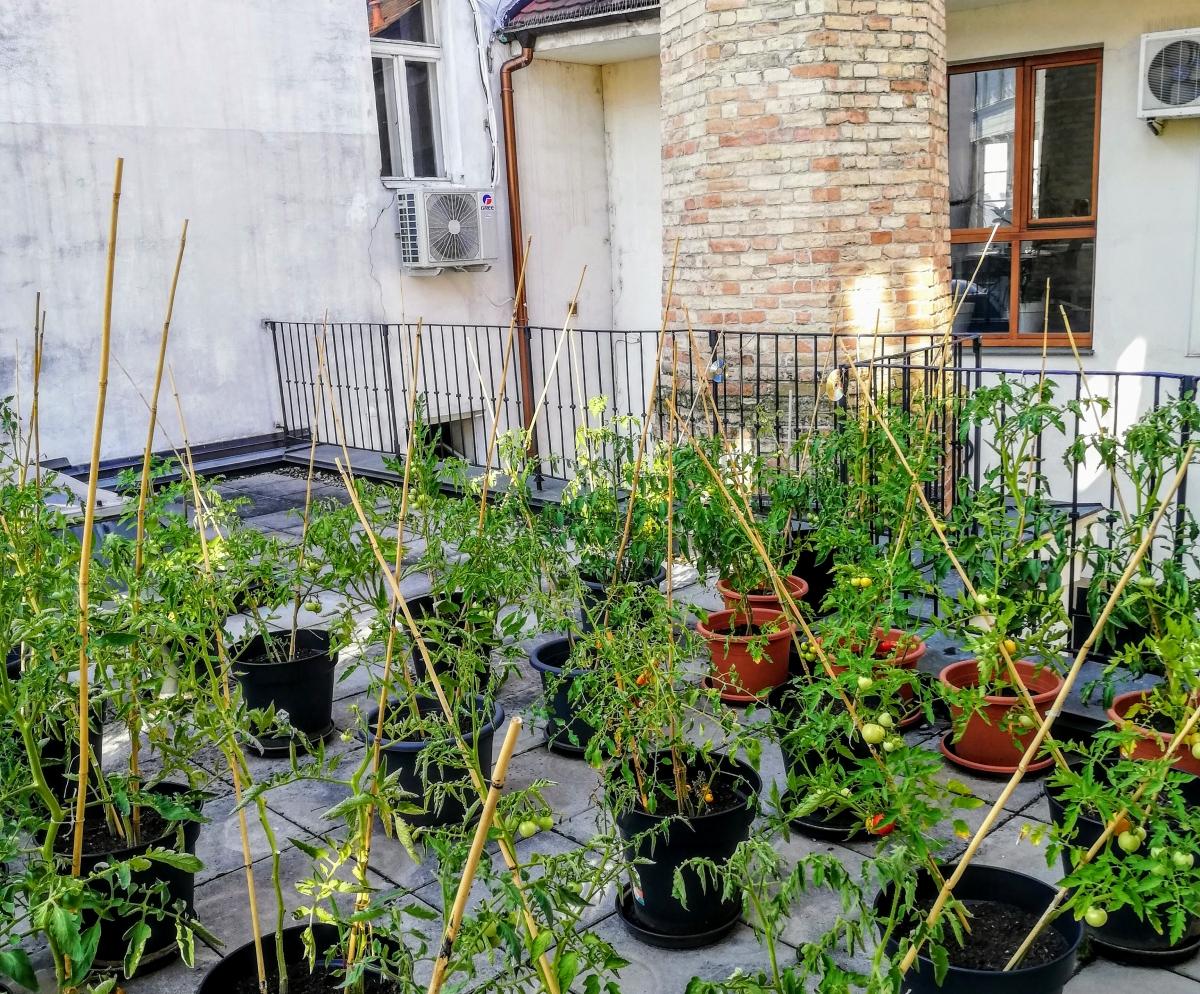 paradajky na streche jazykovej školy la latina